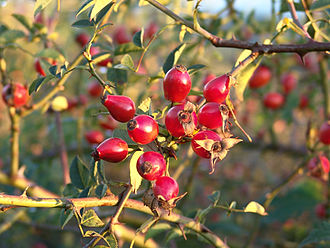 Rosehip / cynorrhodon / Hagebutte ExtraCell